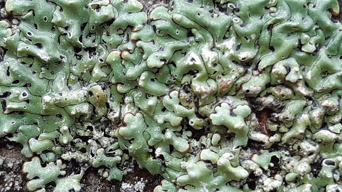 Tarczynka dziurkowana, gatunek podlegający ochronie ścisłej, wskaźnik lasów naturalnych.