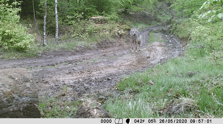 Jeden z wilków watahy, którą tropiliśmy